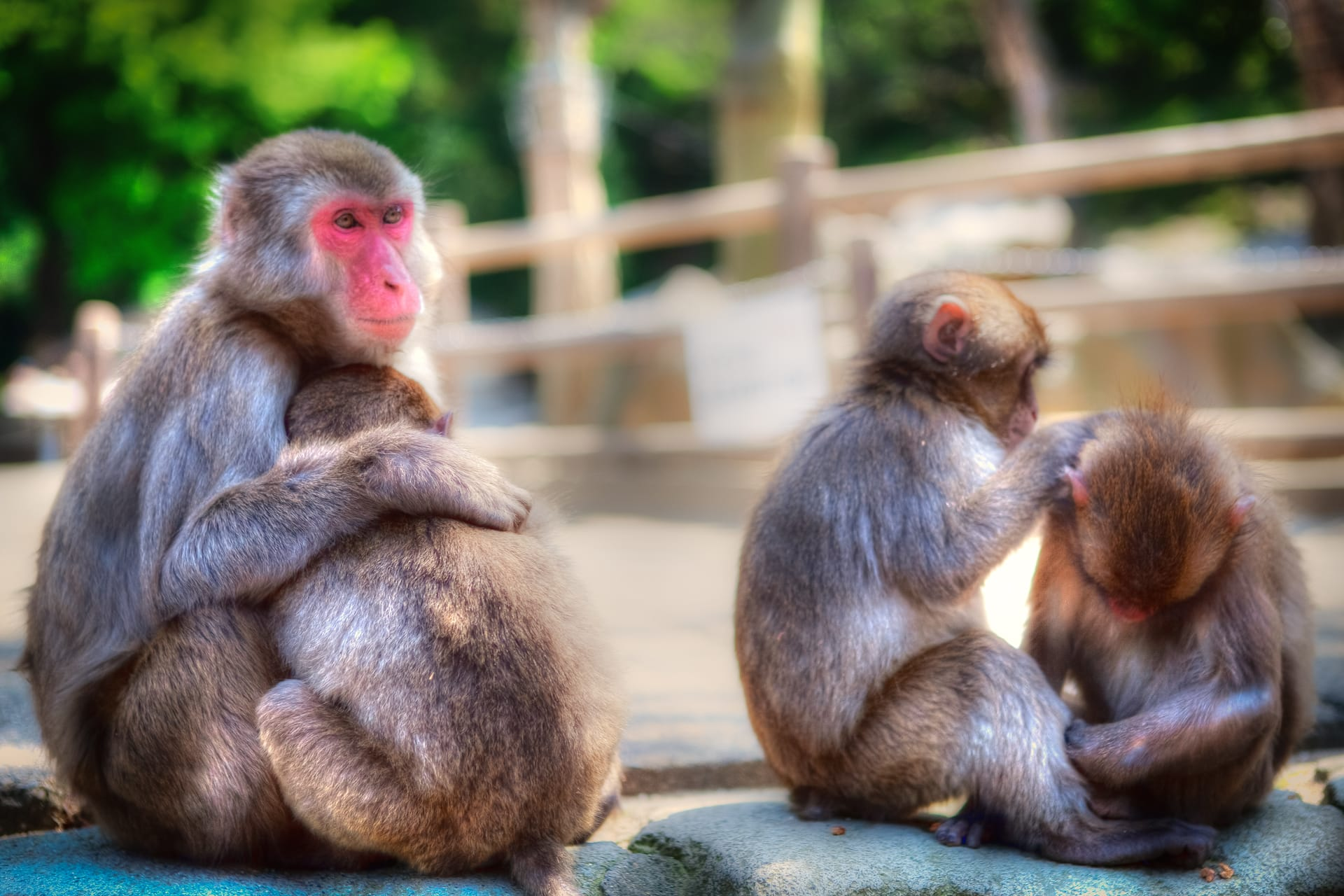 Japanese Monkeys of the Takaski Mountains of Japan